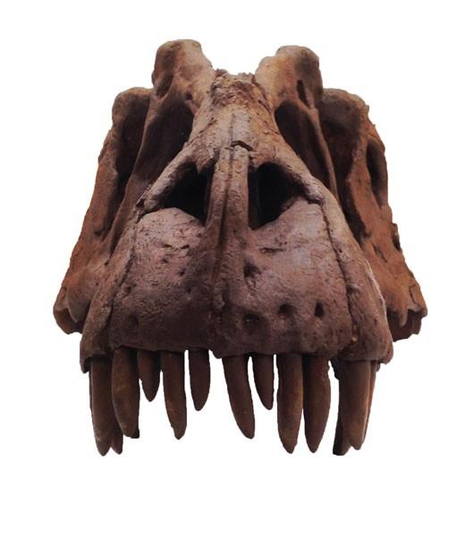 Crânio da nova espécie de dinossauro que foi anunciada por pesquisadores (Foto: Museu de História Natural da Utah/Mark Loewen/AP)