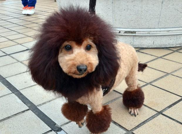 Encontro reuniu cães com aparência de leões (Foto: Yoshikazu Tsuno/AFP)