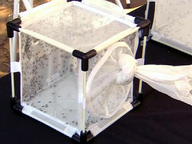 Mosquitos machos modificados não picam e esterilizam fêmeas transmissoras - Piracicaba (Foto: Reprodução/EPTV)