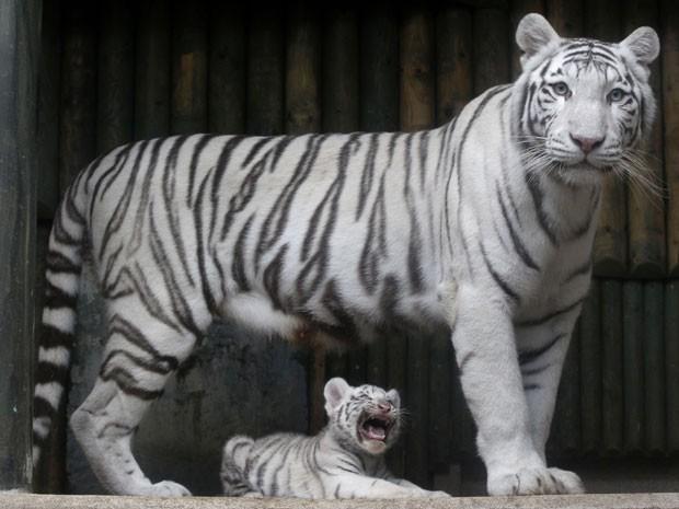 Tigres brancos no zoológico de Liberec, na República Tcheca, em foto tirada em setembro (Foto: AP Photo/Petr David Josek/Arquivo)