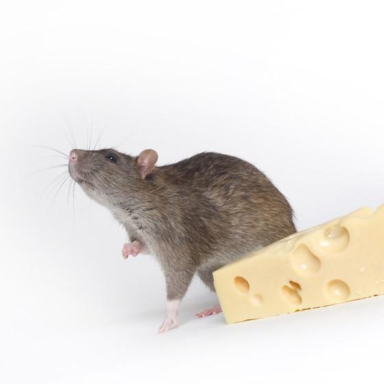 Praga urbana - as espécies de roedores são as que mais transmitem doenças para humanos (Foto: Free Images)