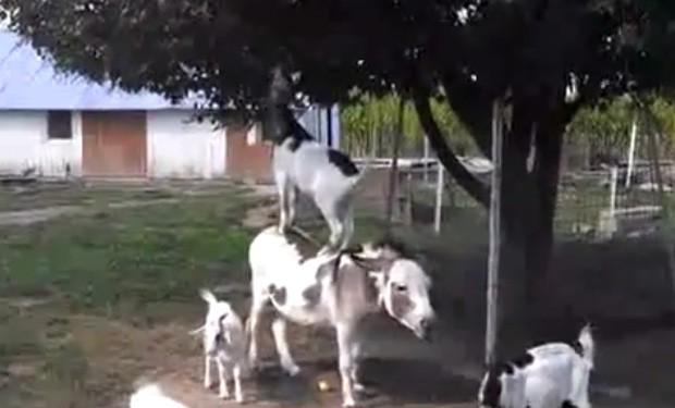 Cabra esperta usou burro como 'escada' para alcançar frutas em árvore  (Foto: Reprodução/YouTube/FireonEarth)