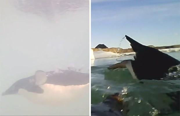"""Pinguins filmados com as câmeras especiais durante a pesquisa, na Antártica (Foto: Reprodução/""""PNAS"""")"""