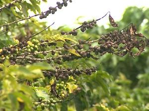 Tempo quente e seco está prejudicando a qualidade dos grãos de café (Foto: Márcio Meireles/EPTV)