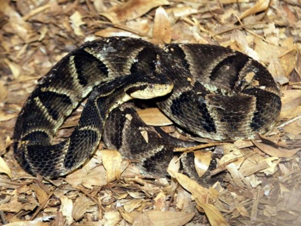 Gestação das cobras dura cerca de quatro meses (Foto: Itaipu/Divulgação)