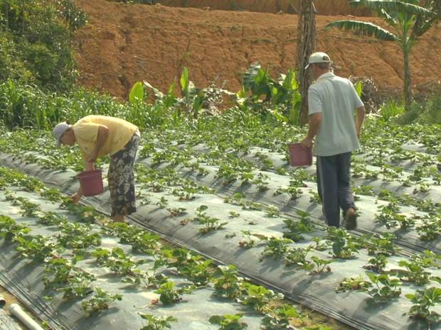 Na propriedade da família Reink, toda produção é orgânica (Foto: Reprodução/ TV Gazeta)
