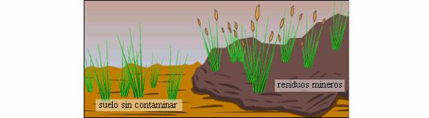 Espécie de gramínea à esquerda em um solo não contaminado e à direita, contaminada por metais pesados (Foto: USP)
