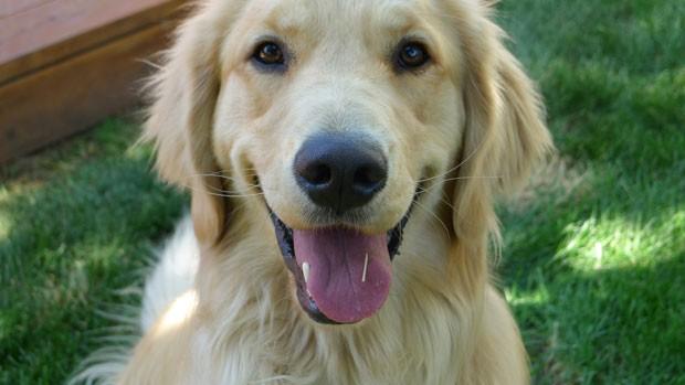 Pesquisadores vão analisar 3 mil cães da raça golden retrievers para descobrir como prevenir o câncer (Foto: Colorado State University, Josh Mesinger/AP)