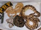 PRF encontra em carro sete cobras escondidas em meias dentro de mala