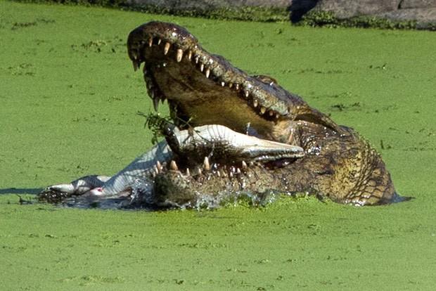 Fotógrafa flagrou crocodilo enorme devorando filhote em rio na África do Sul (Foto: Tanja Merensky-Hartinger/Caters News/The Grosby Group)