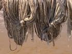 Produtores de malva do AM enfrentam problemas com a safra