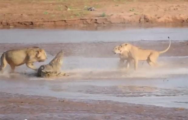 turista Kai Banks filmou uma luta dramática envolvendo três leões e um crocodilo (Foto: Reprodução/YouTube/ Kai Banks)