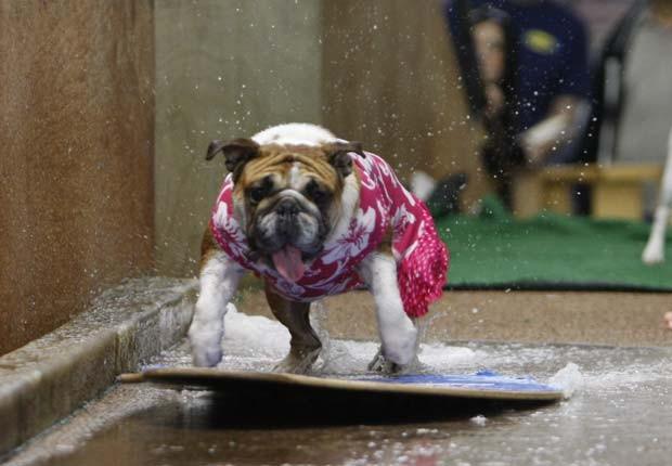 A bulldog 'Rose' mostrou talento em uma prancha de skimboarding, uma mistura de surfe e skate, durante uma competição em 2010 na Califórnia (EUA) (Foto: Damian Dovarganes/AP)