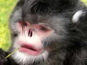 Macaco-espirrador (Foto: Thomas Geissmann / Fauna & Flora International)