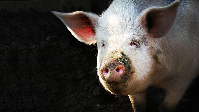porco, China (Foto: Clemson / Flickr)