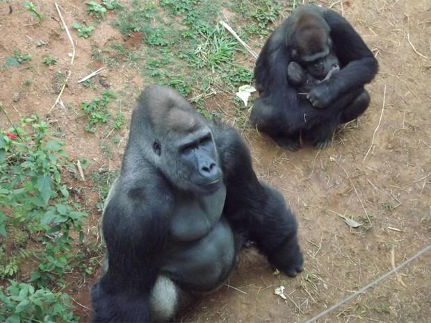 Cria é do casal de gorilas Leon e  Lou Lou. (Foto: Suziane Fonseca/ Fundação Zoo-Botânica)