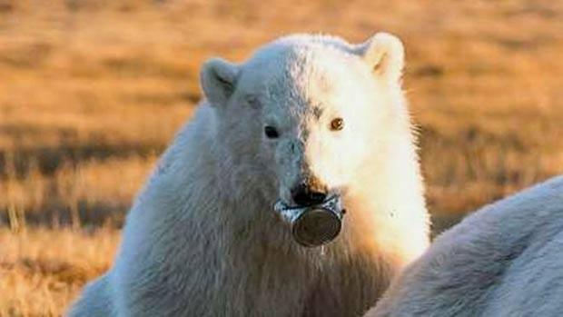 A imagem dramática do filhote de urso-polar, que passou duas semanas sem poder se alimentar porque tinha uma lata de leite condensado presa na língua (Foto: Dvorjchenko Vitaliy/The Siberian Times)