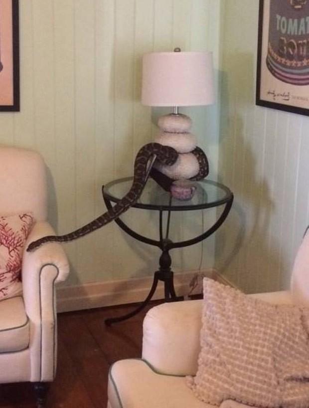 Uma família levou um susto ao encontrar uma cobra enorme enrolada no abajur da sala de sua casa na cidade de Taringa, subúrbio de Brisbane, na Austrália (Foto: Reprodução/Facebook/Snake Catchers Brisbane)