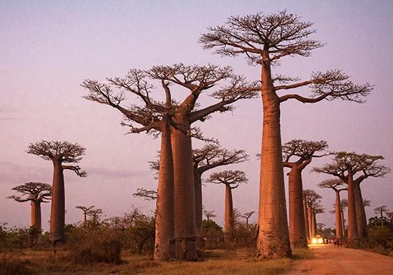 baobás aglomeram-se às margens da rodovia (Foto: © Haroldo Castro/Época)