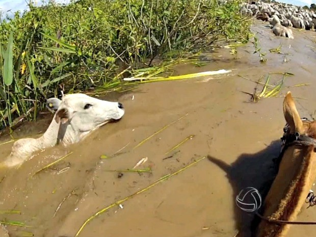 Bovinos atravessam rio nadando durante período chuvoso (Foto: Reprodução/TVCA)