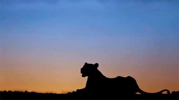 Animais selvagens e raros podem vistos em momentos de descanso ou pastando na savana, sem perceber a presença do fotógrafo (Foto: Caters)