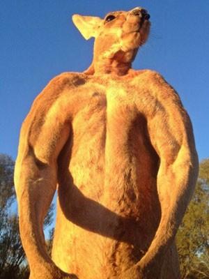 O canguru Roger, de 9 anos de idade, é o macho alfa do santuário Alice Springs (Foto: Reprodução/Facebook/The Kangaroo Sanctuary Alice Springs)