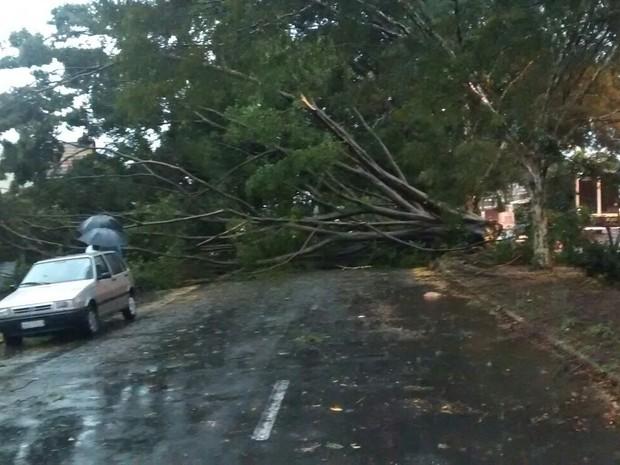 Árvore cai após chuva forte no bairro Jardim Santana em Campinas (SP) (Foto: Thiago Fonseca)