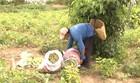 Agricultura familiar ajuda aumentar safra (Reprodução/TV Mirante)