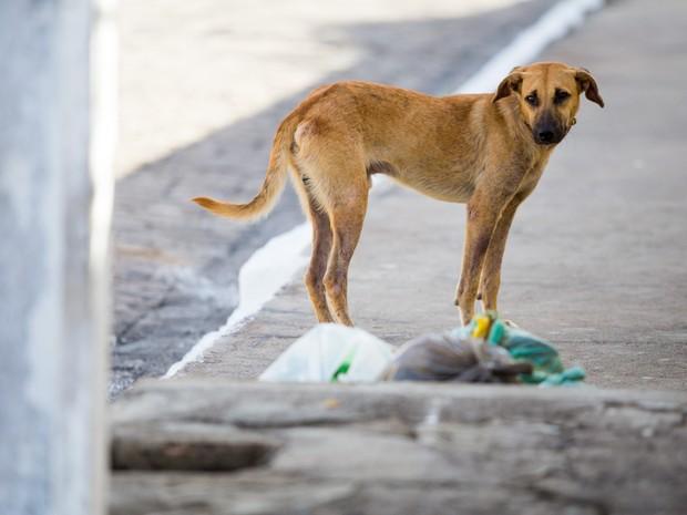 O cão amarelo tinha acabdo de revirar o lixo atrá de comida em Marechal Deodoro. (Foto: Jonathan Lins/G1)