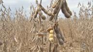 Produtores de soja de MS aproveitam valorização do grão