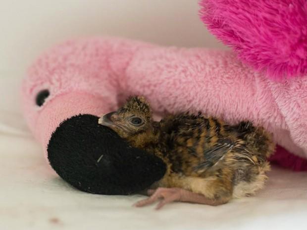 Filhote de mutum-de-alagoas está sendo monitorado por biólogos do Parque das Aves, em Foz do Iguaçu (PR) (Foto: Parque das Aves / Divulgação)