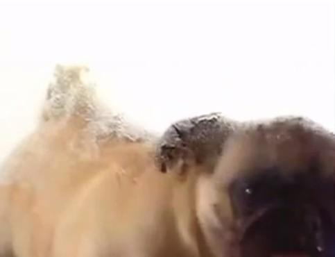 screenshot de Proteção de Tela Cachorro Lambendo