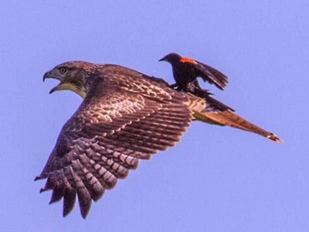 Pássaro pega carona em voo de gavião sobre área protegida nos EUA (Foto: Reprodução/ Instagram/ U.S. Interior)