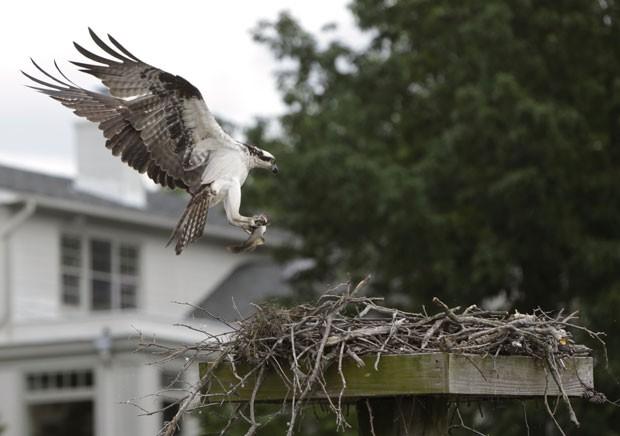 Uma águia foi fotografada na quinta-feira (23) no exato momento em que retornava para seu ninho após capturar um peixe no rio Potomac (Foto: Gary Cameron/Reuters)