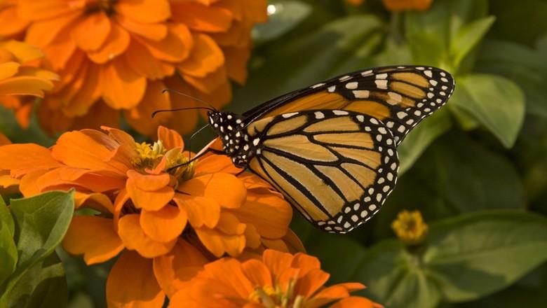 borboleta-flor-aquecimento-global-meio-ambiente (Foto: liz west/CCommons)