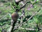Produtores de pêssego esperam colher boa safra da fruta no RS