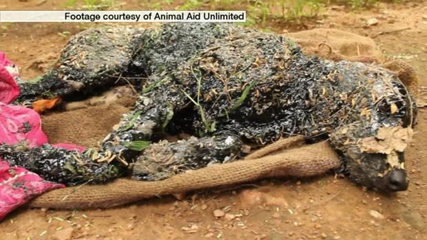 Cachorro coberto com piche foi encontrado em um terreno em Udaipur, no norte da Índia (Foto: BBC)