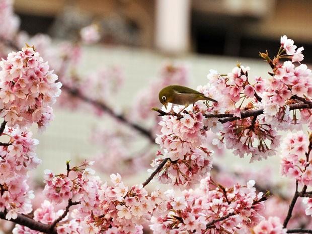 Pássaro em cerejeira florida em Tóquio (Foto: Yoshikazu Tsuno/AFP)