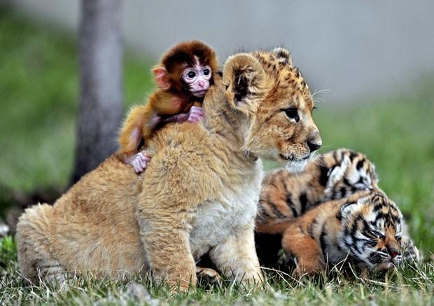 """Um raro flagrante feito em um zoo da China: quatro filhotes de três diferentes espécies interagem em um mesmo ambiente. Um macaco ficou amigo do leão, que convive tranquilamente com outros dois filhotes de tigres, que não estão nem aí para o que está acontecendo e só querem """"tirar um cochilo"""". (Foto: Reuters)"""