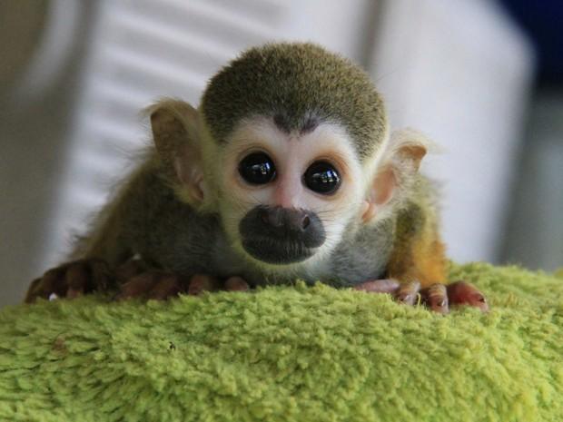 """Filhotes de preguiça, macaco e tamanduá encontram no """"bichinho"""" a figura materna. (Foto: Arlesson Sicsú/Semcom)"""