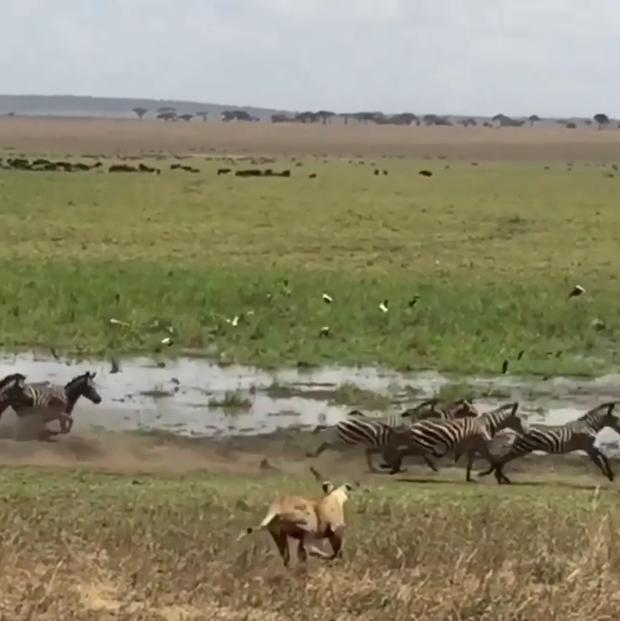 Leoa caça zebras (Foto: Reprodução/Instagram)