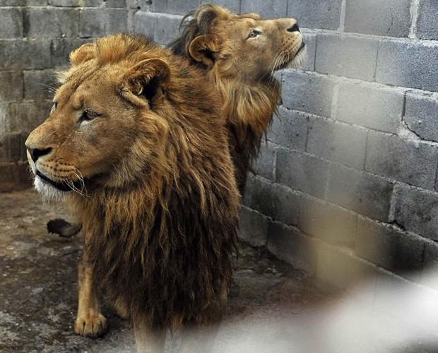 Leões que eram mantidos em cativeiro em zoológico privado na Sérvia (Foto: Mihai Vasile/Four Paws/Reuters)