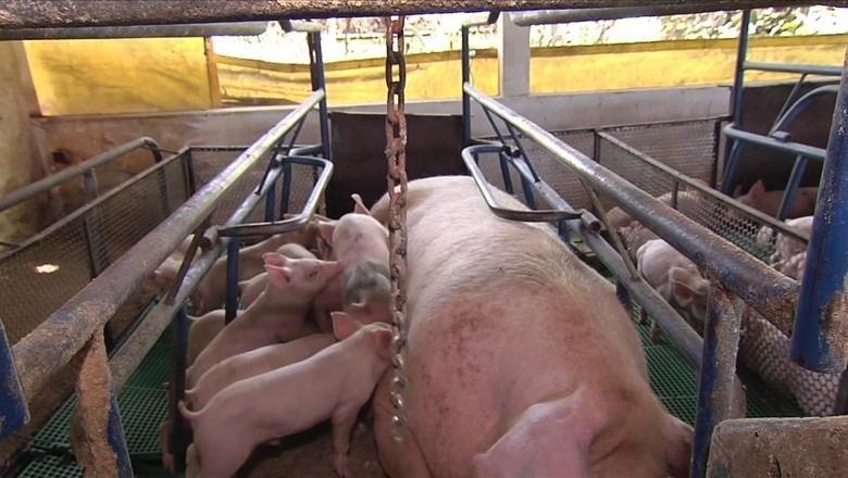 porco-suinos (Foto: Reprodução/TV Globo)