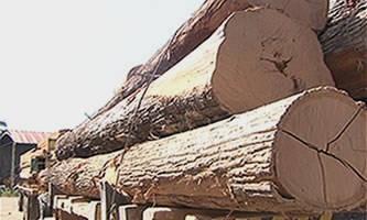Toras da madeira maçaranduba foram apreendidas pelo Ibama. (Foto: Divulgação/Ibama)
