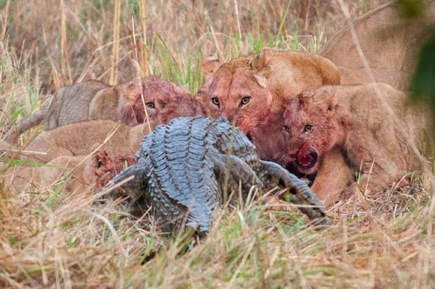 O grupo de leoas e seus filhotes observa o avanço de um crocodilo-do-Nilo, que tentou roubar a comida dos felinos: um duelo de titãs (Foto: Caters)
