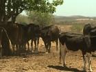 Seca leva produtores a vender o gado em AL para não ver o rebanho morrer