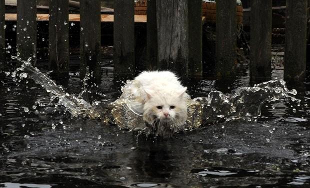 Um gato corajoso foi fotografado nadando uma área alagada em Khvoensk, cerca de 280 km de Minsk, em Belarus. A cena foi registrada no sábado (13) pelo fotógrafo Viktor Drachev (Foto: Viktor Drachev/AFP)