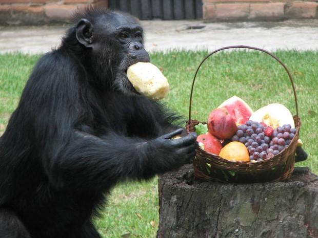 Macacos fazem comilança no Zoológico do Rio (Foto: Divulgação)