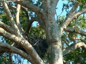Ninho de gavião-real (Foto: Hélison Mourão/ Arquivo pessoal)