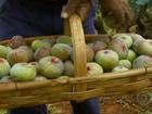 Produtores de figo de Valinhos, SP, comemoram resultado da safra